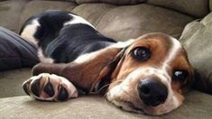 12 Reasons Why Basset Hounds are Absolutely Incredible Breed – The Paws 12 Reasons Why Basset Hounds are Absolutely Incredible Breed – The Paws Whippet Puppies, Hound Puppies, Basset Hound Puppy, Dogs And Puppies, Hound Dog Breeds, Doggies, Cute Beagles, Cute Dogs, Dog Pictures