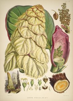 [Rheum nobile - grows its own greenhouse] Illustrations of Himalayan plants : - Biodiversity Heritage Library