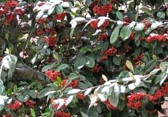 The Outlander Plant Guide: Winter Solstice Plant Guide, Plant Information, Winter Solstice, Outlander, Scotland, Spices, Herbs, Inspired, Live