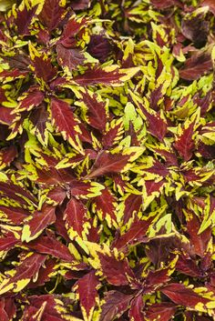 ColorBlaze Apple Brandy Coleus will color up the shady parts of your garden, or can be a thriller plant in a container combo for the SUN!  Either way, this variety has won many trial awards this spring. Easy to grow!