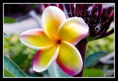 Plumeria  #Hawaii