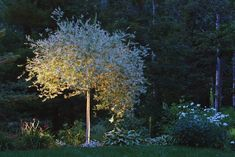 Tree Lighting, Dappled Willow St. Lynn's Press Pittsburgh, PA