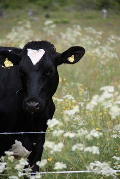 . I ♥ cows