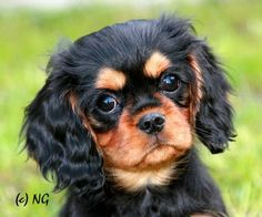 Adorable Cavaier...We breed these.  tee's royal cavaliers