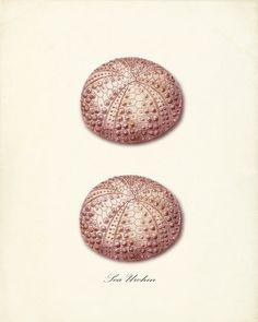 Pink sea urchin print