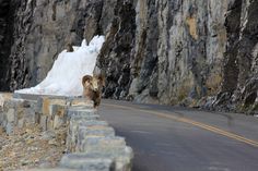 big horned sheep on the road, Glacier National Park