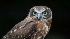 Owls, Enschede