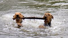 Water dogs fetching same stick...