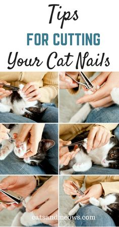 Learn how to cut your cat& nails safely. Don& be afraid check our our tips to cutting your cat& nails without stress. Cat Care Tips, Pet Care, Pet Tips, Cat Hacks, Kitten Care, Cat Behavior, Cat Grooming, Cat Health, Health Tips