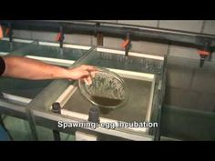 This video shows a full production cycle in our African catfish (clarias gariepinus) hatchery based in The Netherlands, Fleuren & Nooijen bv. Catfish Farming, Channel Catfish, Fish Hatchery, Fish Breeding, Farmer's Daughter, Aquaponics, Tilapia, Farmers, Agriculture