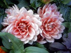Dahlias - just like this, in my backyard when I was growing up - my Mom was a master gardener.....