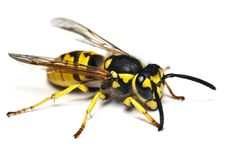 Osa (Vespula) – rodzaj owadów charakteryzujący się kontrastowym ubarwieniem żółto-czarnym, oraz posiadaniem żądła stanowiącego naturalną broń w razie zagrożenia, a także ułatwiającego uśmiercenie ofiary. Osy osiągają do 25 mm długości ciała