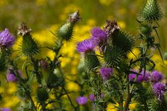 softness of the thistles by ~pavalo on deviantART
