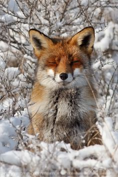 Red fox ~thrumyeye on deviantART