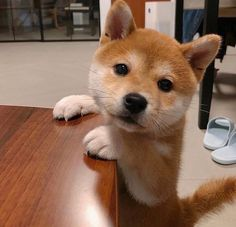 Lab Puppies, Cute Dogs And Puppies, I Love Dogs, Doggies, Chien Shiba Inu, Shiba Puppy, Husky Pet, Japanese Dogs, Golden Retriever