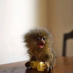 The world's smallest monkey eats a giant piece of macaroni. Well, size is relative :P