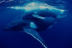 Mother Grey Whale and Calf