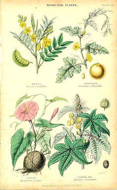 Senna, Colocynth, Jalap, Castor Oil:  Genuine antique print of Medicinal Plants from Vegetable Kingdom by William Rhind