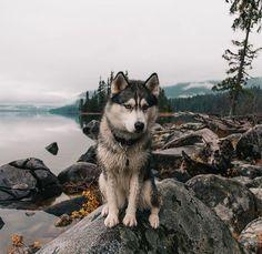 @Kyrapg ☾ Ig : Kyrapg ==>http://www.amazingdogtales.com/gifts-for-siberian-husky-lovers/ #siberianhusky