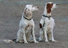 English Setters or English and IRWS?