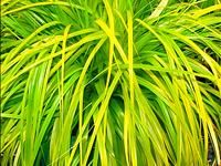 """Carex oshimensis """"Everillo,"""" A mounding fountain of lime green leaves turning to gold.  Evergreen, hardy to zone 5, 18"""" high & 12"""" spread."""