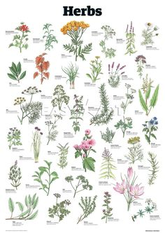 Herbs, Guardian Wallchart Prints from Easyart.com