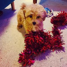 """Buddy on Instagram: """"Mummy tried to put up the Christmas tree...I had other ideas!! 🐶❤️🐶 #maltipoo #puppy #maltipoopuppy #christmas #tinsel #Christmastree…"""""""