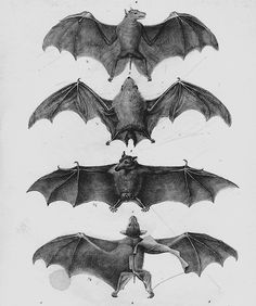 bat wings anatomy@Nic Farra