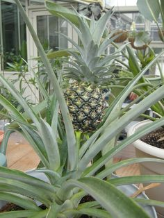 pineapple grown in a green house