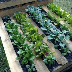Δίνουμε ένα παράδειγμα για το πως μπορούμε να οργανώσουμε τον λαχανόκηπό μας. Το άρθρο αναφέρεται στο πώς να οργανώσουμε ένα λαχανόκηπο 100 τετρ. μέτρων, εφαρμόζοντας