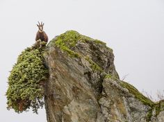 Chamois Foraging Leap of Faith... photo by Stefano Unterthiner