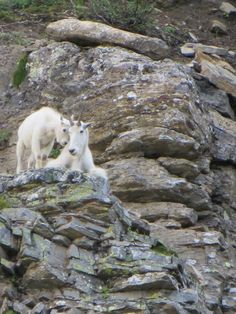 Mountain goats at Glacier Park Tree Chair, Mountain Goats, Glacier Park, Polar Bear, National Parks, Animals, Animales, Animaux, Animal