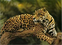 Amazonie-leJaguar-Arbre