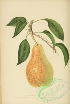 Louise Bonne de Jersey Pear - high resolution image from old book. Crafts With Pictures, High Pictures, Painted Books, Botanical Illustration, Botany, Fabric Flowers, Flora, Clip Art, Product Description