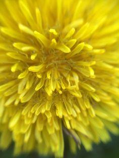 Löwenzahn. Die junge Blüte eignet sich zum Honigmachen, für Löwenzahnsirup, als Deko für Salate und vieles mehr.
