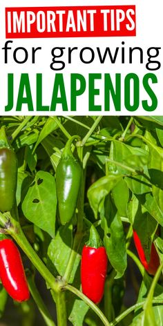 Important Tips For Growing Jalapeños that you will want to know for growing the best crop you can. From tips and tricks to must know secrets. I spill all the secrets. Growing Jalapenos, Growing Peppers, Growing Veggies, Planting Vegetables, Growing Tomatoes, How To Grow Jalapenos, How To Grow Cilantro, Cilantro Growing, Growing Plants