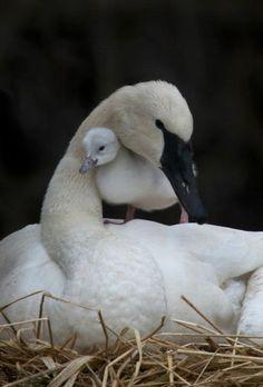 Trumpeter swan with cygnet Beautiful Swan, Beautiful Birds, Animals Beautiful, Swans, Cute Baby Animals, Animals And Pets, Trumpeter Swan, Tier Fotos, Mundo Animal