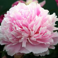 LOVE MY Peony 'Sarah Bernhardt' I hope my starts survived the cold winter