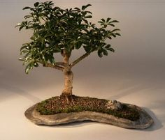 This is the tree that we recommend if you are inexperienced with bonsai or you do not have a green thumb. In our opinion it is one of the easiest indoor bonsai trees to care for and is a very beautiful trouble-free evergreen. If you don't know which tree to purchase as a gift for someone, this is the tree to select. This versatile tree is great for the home, office, dorm or anywhere and does well in low or high lighting conditions.