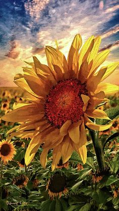 Sunflower field and crisp blue sky with clouds. Would make a beautiful painting. Sunflower field and Sunflower Garden, Sunflower Art, Sunflower Fields, Sunflower Paintings, Watercolor Flowers, Watercolor Art, Fred Instagram, Graffiti Kunst, Sunflowers And Daisies