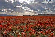 California poppy #naturphotography #landscapingphotographer #poppy #califoniapoppyflower #antelopevalleypoppyreserve #plants #naturebeauty #cloudscape #sunset #sunsetphotography #california #canon_photos #canon5dmark2 #canonlenses #canon2470 #nofilter #travel #travelphotography #californiaspring by ruthyangphotography