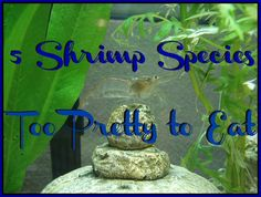 Shrimp may be one of the world's favorite shellfish to consume, but we think these 5 shrimp species are just far too pretty to eat! http://aquaviews.net/explore-the-blue/5-shrimp-species-pretty-eat/