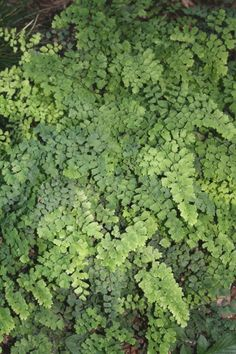 Alabama Southern Maidenhair Fern for sale buy Adiantum capillus-veneris Alabama Form