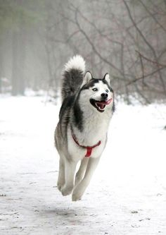 7.) This handsome husky.