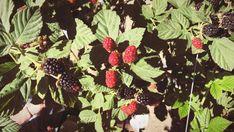 Ohhjuliana : Berry Picking