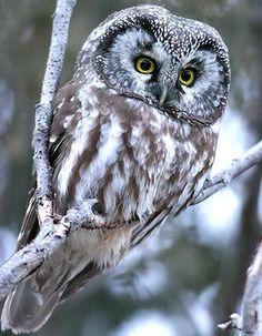 corujas raras espécie boreal - Pesquisa Google