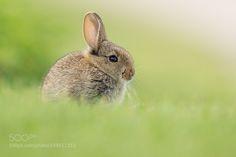 Wildkaninchen | European Rabbit by urszimmermann #animals #animal #pet #pets #animales #animallovers #photooftheday #amazing #picoftheday