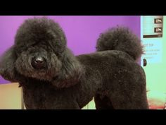 Grooming a Black & White Doodle Poodle with Suesan Watson - YouTube