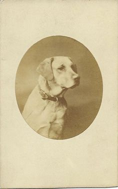 cdv portrait of a yellow Labrador retriever, wearing a leather collar. Photo by Robert Faulkner & Co. From bendale collection Photos With Dog, Dog Pictures, Animal Pictures, Dog Illustration, Illustrations, Big Dog Breeds, Dog Crafts, Vintage Dog, Leather Collar