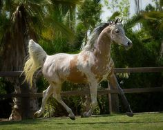 Nibrass, extreme fleabitten grey Arabian.